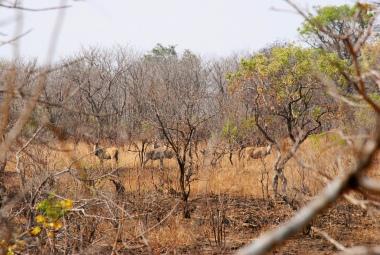 Eland herd watching us