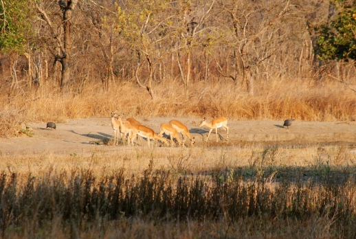 Antelopes and guinea fowls by the waterhole in the morning