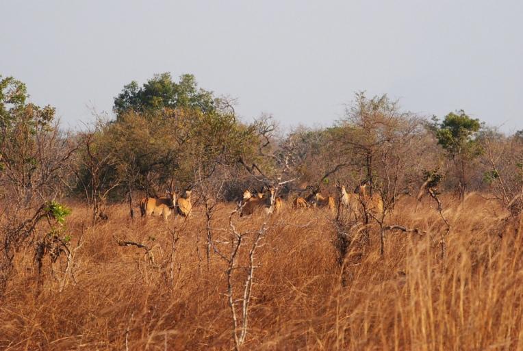 Watching an impala herd