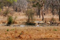 Watching the waterhole during lunch break at Tandikwe camp