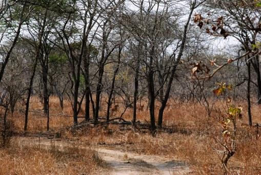 Sable herd chasing away