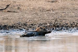 Warthog wallowing